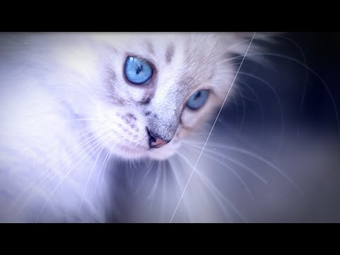 Best of Kitten - Ragdoll Thorin