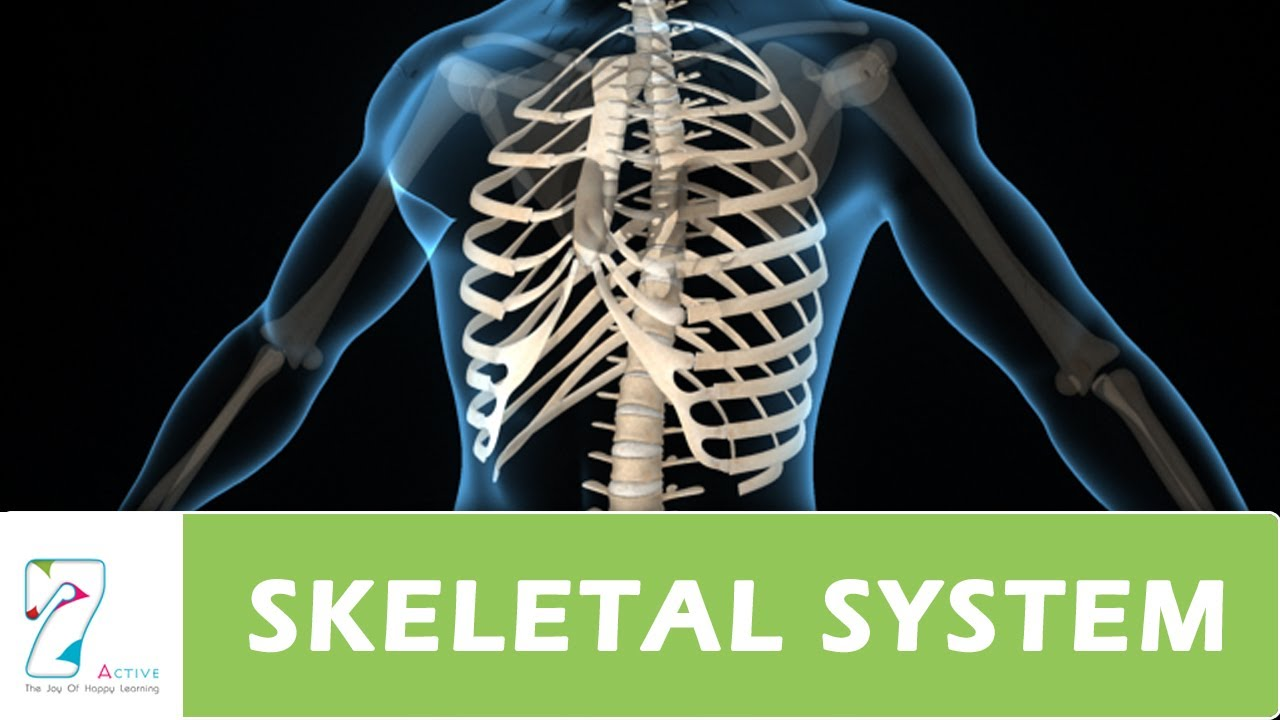 human skeletal system - youtube, Skeleton