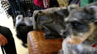 Miniature Schnauzer Rally At The Dug Cafe Loch Lomond Shores.