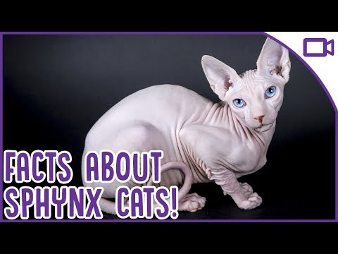 Facts About Sphynx Cats - BALD Cat Fun Facts!