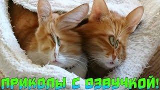 РЫЖИЕ КОТИКИ СМЕШНАЯ ОЗВУЧКА приколы с котами видео про КОТИКОВ #котэ