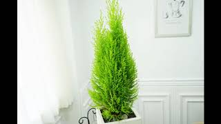 율마 공기정화식물 집들이선물 인테리어화분 개업화분 리본…