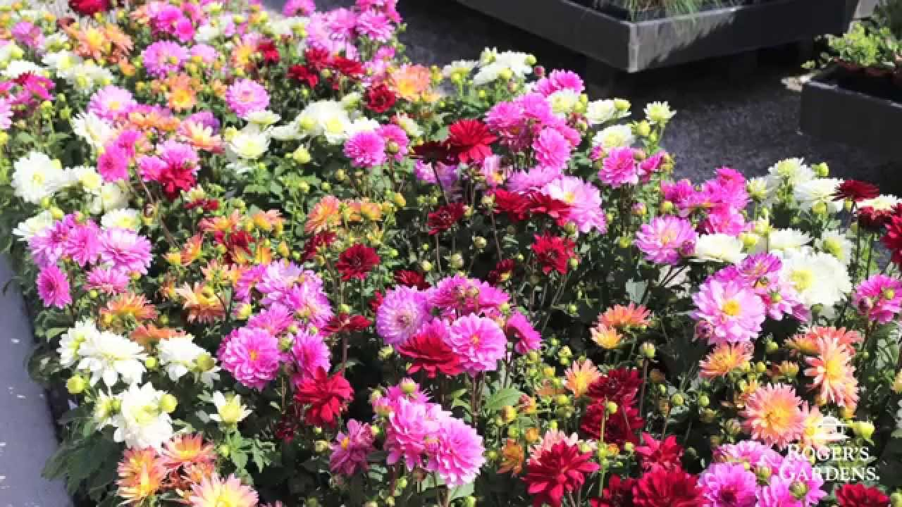 Gardening 101 series how to use annuals vs perennials with lynn gardening 101 series how to use annuals vs perennials with lynn hillman izmirmasajfo