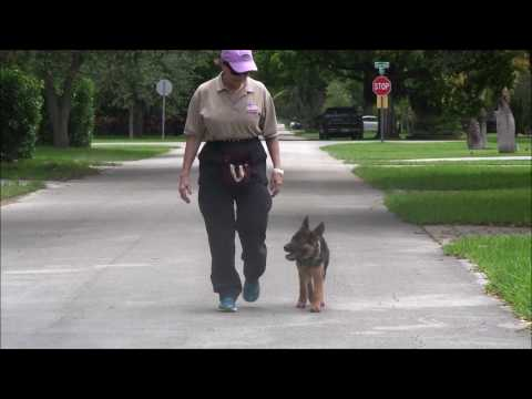 German Shepherd Puppy goes to BOOT CAMP!