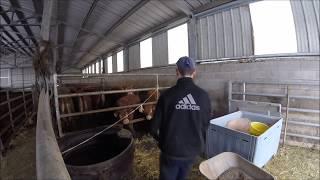 Soin des vaches + pesée des veaux 2018
