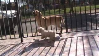 Perro Labrador Saltador Y Bravo Perro Poodle - Chascarros De Perros