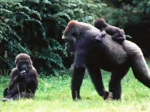 documentario sobre gorilas