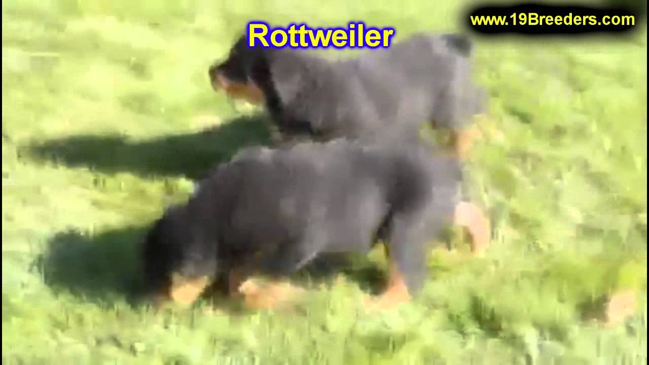 Rottweiler Puppies Dogs For Sale In Denver Colorado Co