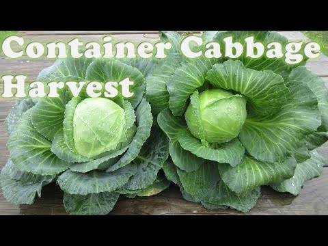 Container Cabbage Harvest