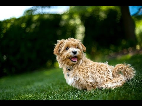Maltipoo Facts - Puppies and Full Grown Dogs