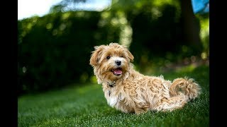 Maltipoo Facts  Puppies and Full Grown Dogs