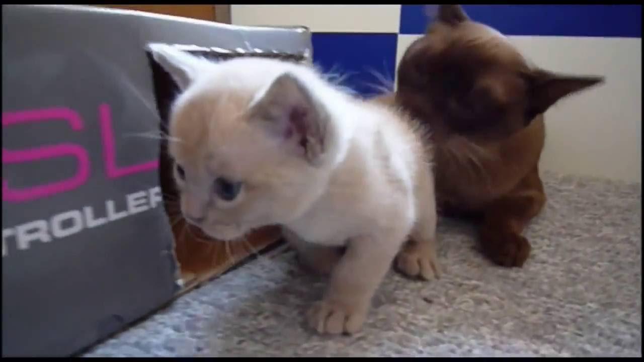 Американская бурма имеет два подвида внутри породы: современный и традиционный. Выбор котенка бурмы. Чтобы купить котенка бурмы, лучше всего обратиться в питомник или к профессиональному заводчику, зарегистрированным в российском союзе клубов кошек. В противном случае вы рискуете.