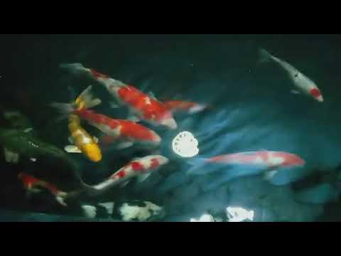 ikan koi sehat dalam air kolam jernih - youtube