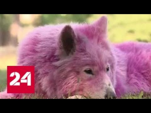 Розовые лайки: в Геленджике спасли двух брошенных в лесу самоедов, третьего ищут