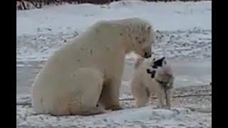 Полярный медведь и собака играют в Канаде