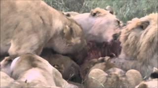 ケニアのマサイマラ、狩りに成功したライオン一家です。
