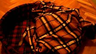 Miniature Pinscher Karlo  - Under His Blanket...