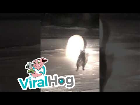 Dog and Polar Bear Encounter || ViralHog