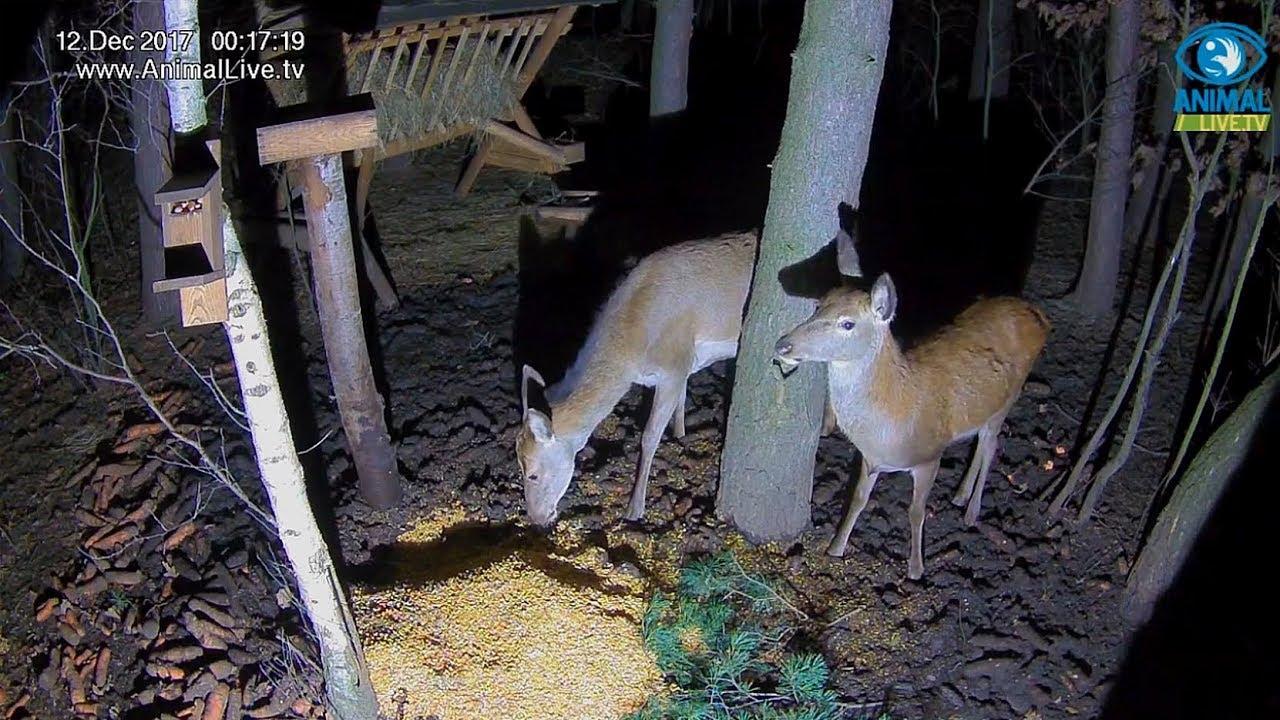 🦌 Łania ze swoim młodym w karmisku w lesie na Podkarpaciu ...