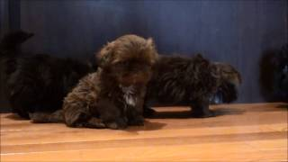 Shih Tzu Puppies For Sale March 17, 2015