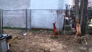 This is a video of my Pharaoh Hound, Crosby, grabbing a squirrel of...