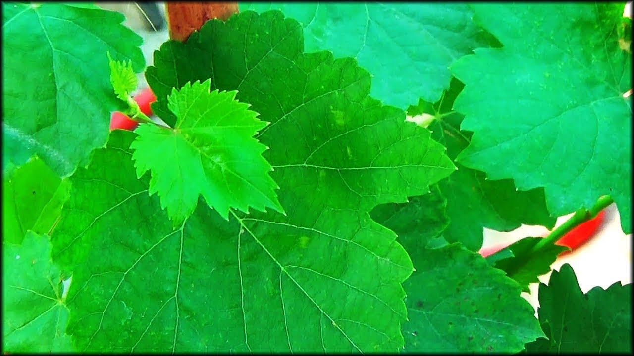 Angoor Ki Konsi Variety Sabse Best Hai? + Grape Vine Care