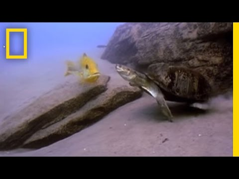 Fish vs. Turtle | National Geographic