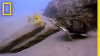 Риба і Черепаха | Національний географічний
