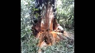 Download Video Waseng minsel - Kayu besi pamali (kayu hantu) MP3 3GP MP4