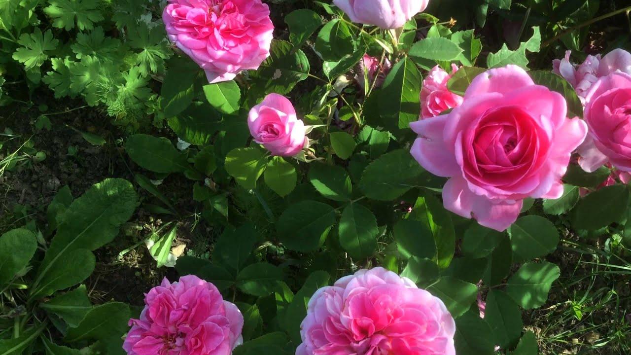 rose 39 gertrude jekyll 39 de 39 david austin 39 youtube. Black Bedroom Furniture Sets. Home Design Ideas