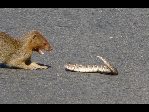 Thumbnail: Slender Mongoose Interaction With Puff Adder (Black & White) - Latest Wildlife Sightings