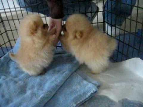 8 week old Pomeranian puppies!
