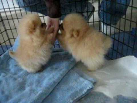 8 Week Old Pomeranian Puppies Youtube