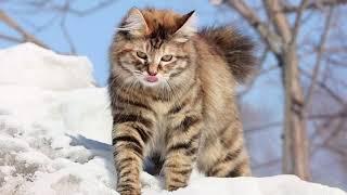 Интересная Кошка Бобтейл