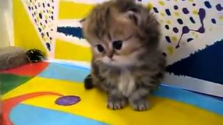 Смешное видео  Персидские котята