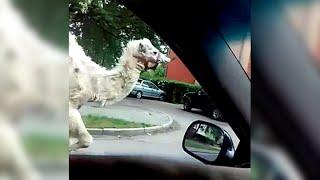 """Pościg za... wielbłądem na ulicach Legnicy, """"Fakty"""" 27.05.2015"""
