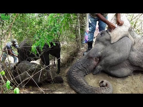 A baby elephant stays by to protect the sick elephant mother