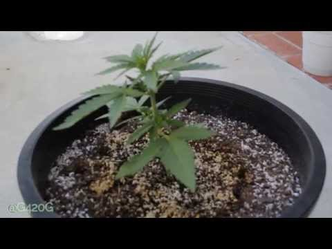 Auto Flower Project Day 21 + Haze Xtreme Outdoor Grow Update