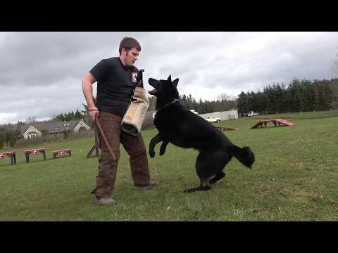 kraftwerk-k9-german-shepherd-obedient-&-protective!