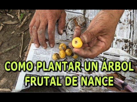Como sembrar una mata frutal de Nance o Nanche (changunga) por semilla