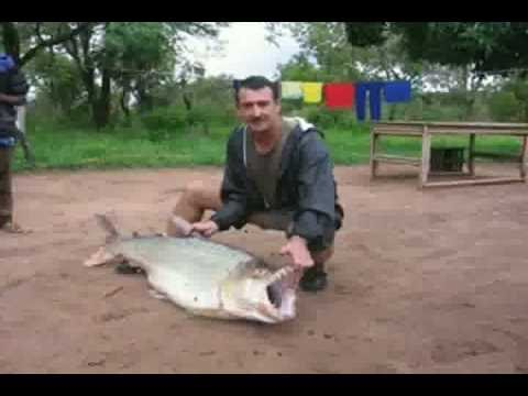 Largest Piranha Ever Caught Youtube