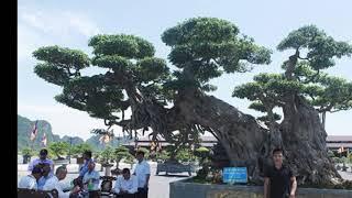 Thực hư về cây sanh lớn nhất Việt Nam có giá 30 TỶ đồng trưng bày tại Tam Chúc
