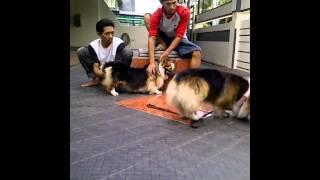 Anjing Kawin Part 1