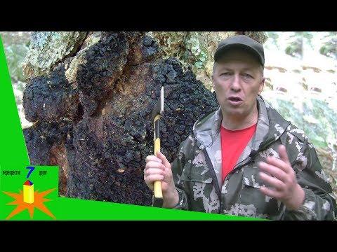 Как найти чагу в лесу. Чайный гриб chaga как лечение рака. Бесполезные двойники сувель и кап.