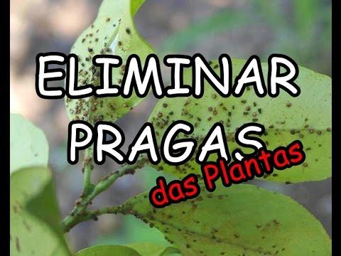 Inseticida natural contra pragas pulgoes fungos e bacterias