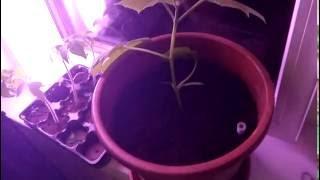 Выращивание огурцов на подоконнике зимой!!! + ФИТО-ЛАМПА!!! ШОК результат!!! Часть 1.