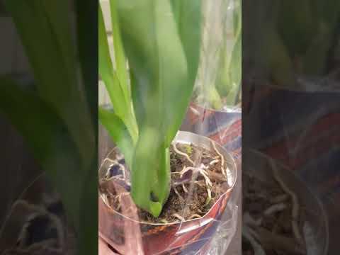 Орхидея Мильтония выбираем
