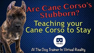 Are Cane Corso's Stubborn?  Teaching Cane Corso's to stay in 3D Virtual Reality!