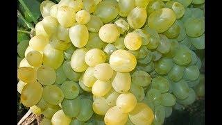 Виноградарство России | Крыма (Крым-24.Экономика Плюс)