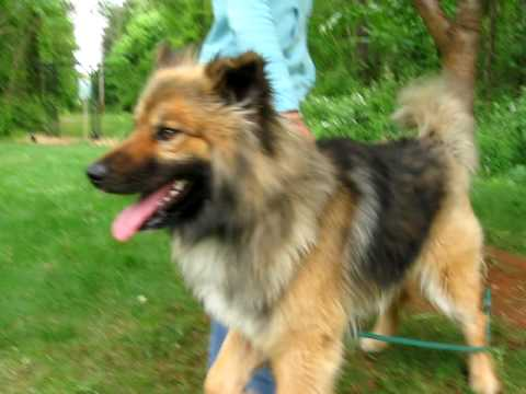 Keeshond Mix Puppies for Sale | FunnyDog.TV